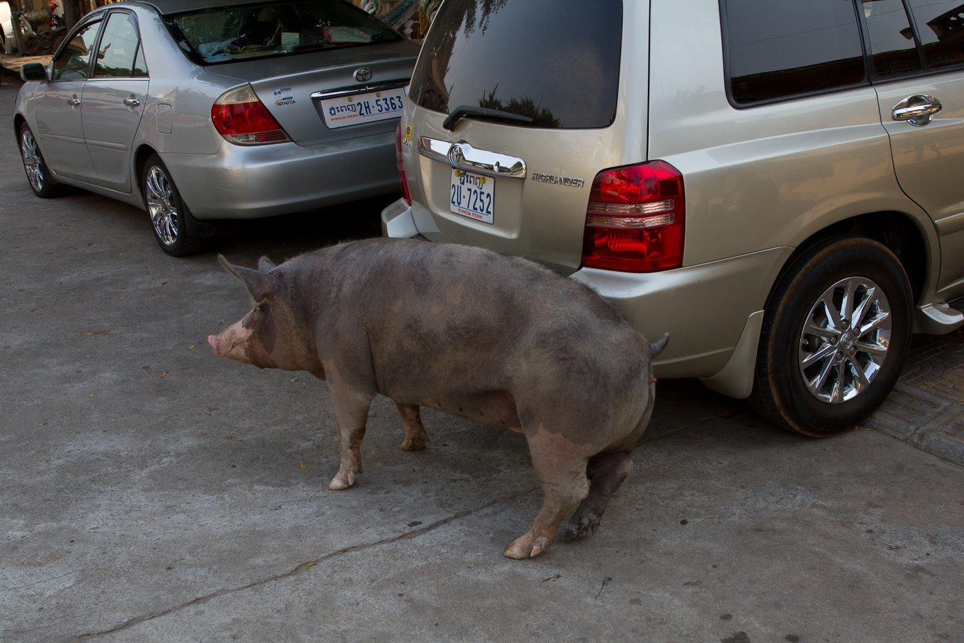 This picture makes you ask: A) Why is the pig in the city? B) How does the owner feel about having the pig use the car as a back scratcher. We will never know.