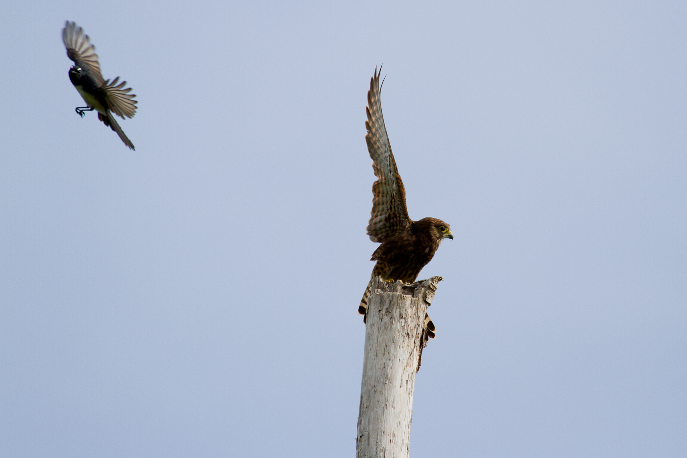 Spotted Kestral being harassed by a Willie Wagtail