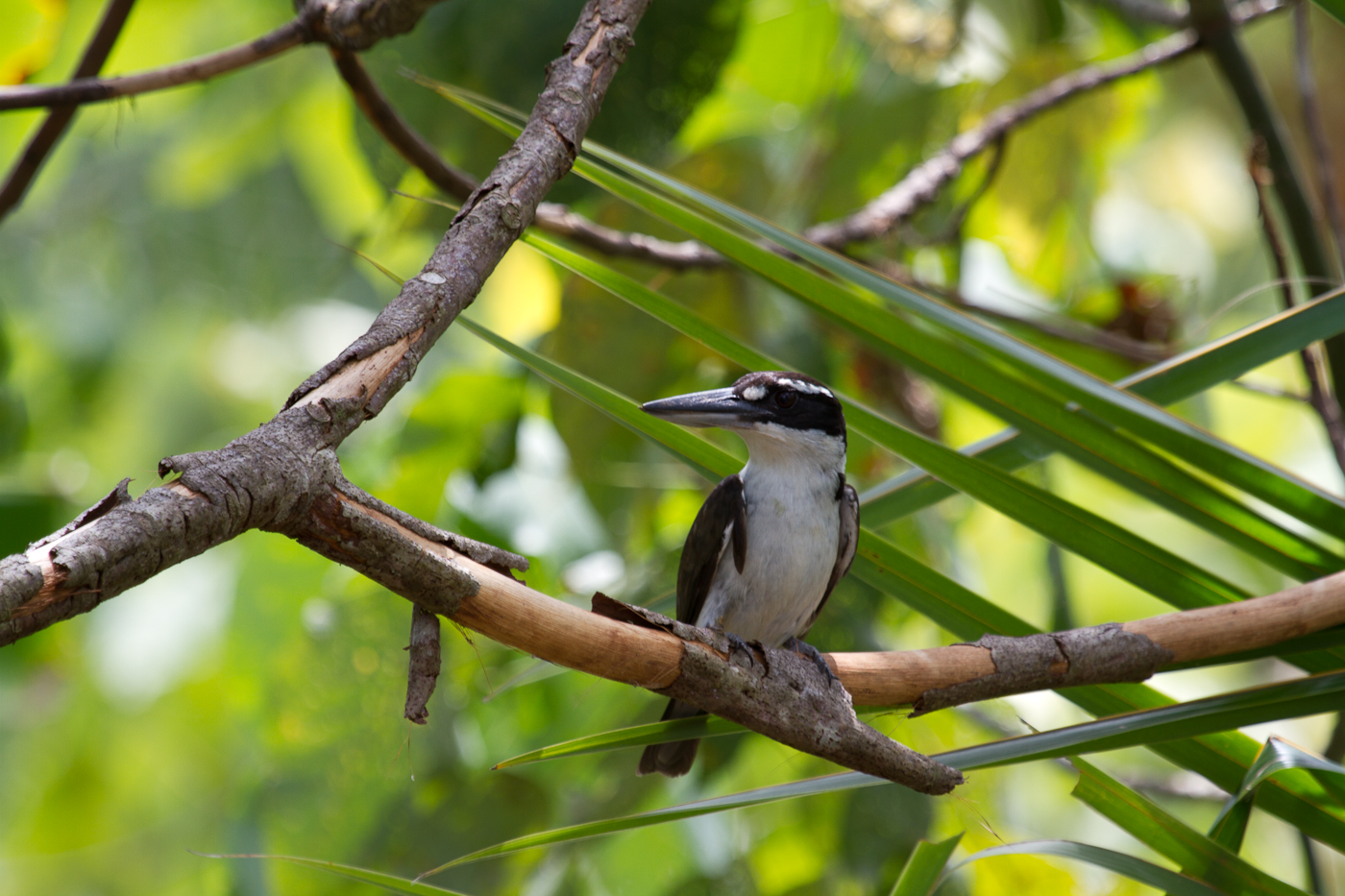 Resident Sombre Kingfisher, one of two Halmahera Endemic Kingfishers.