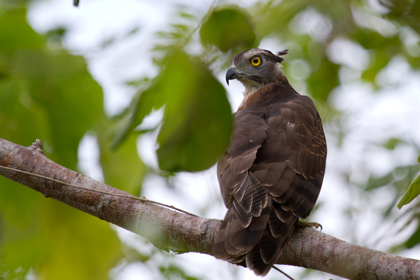 Pacific Baza. Amazing eyes.
