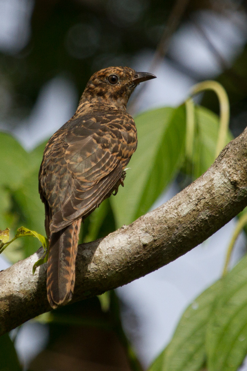 Still not actually sure which kind of Bronze Cuckoo this is. Experts welcome to comment.