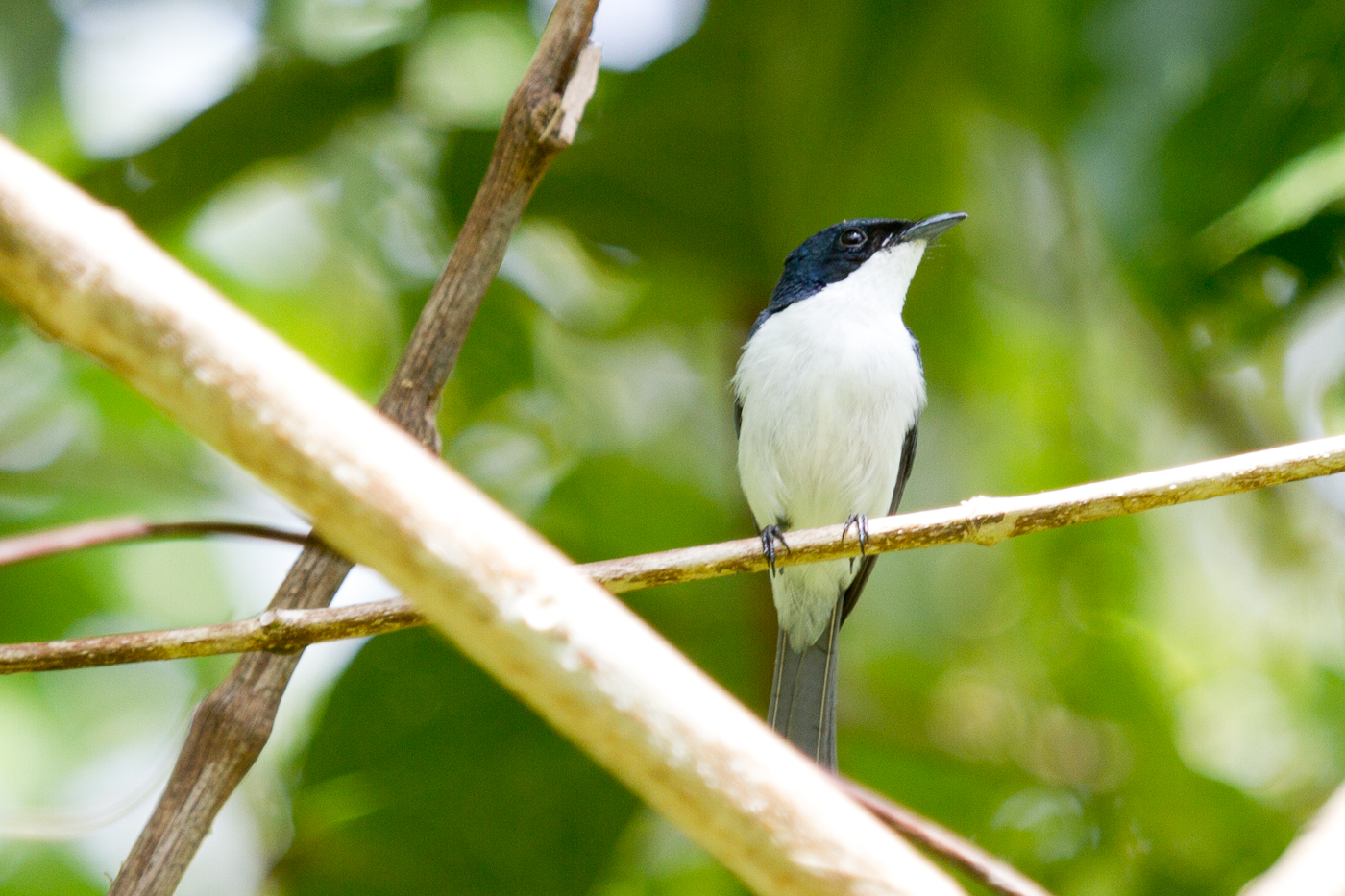 Striated Flycatcher near Weda Resort, Halmahera