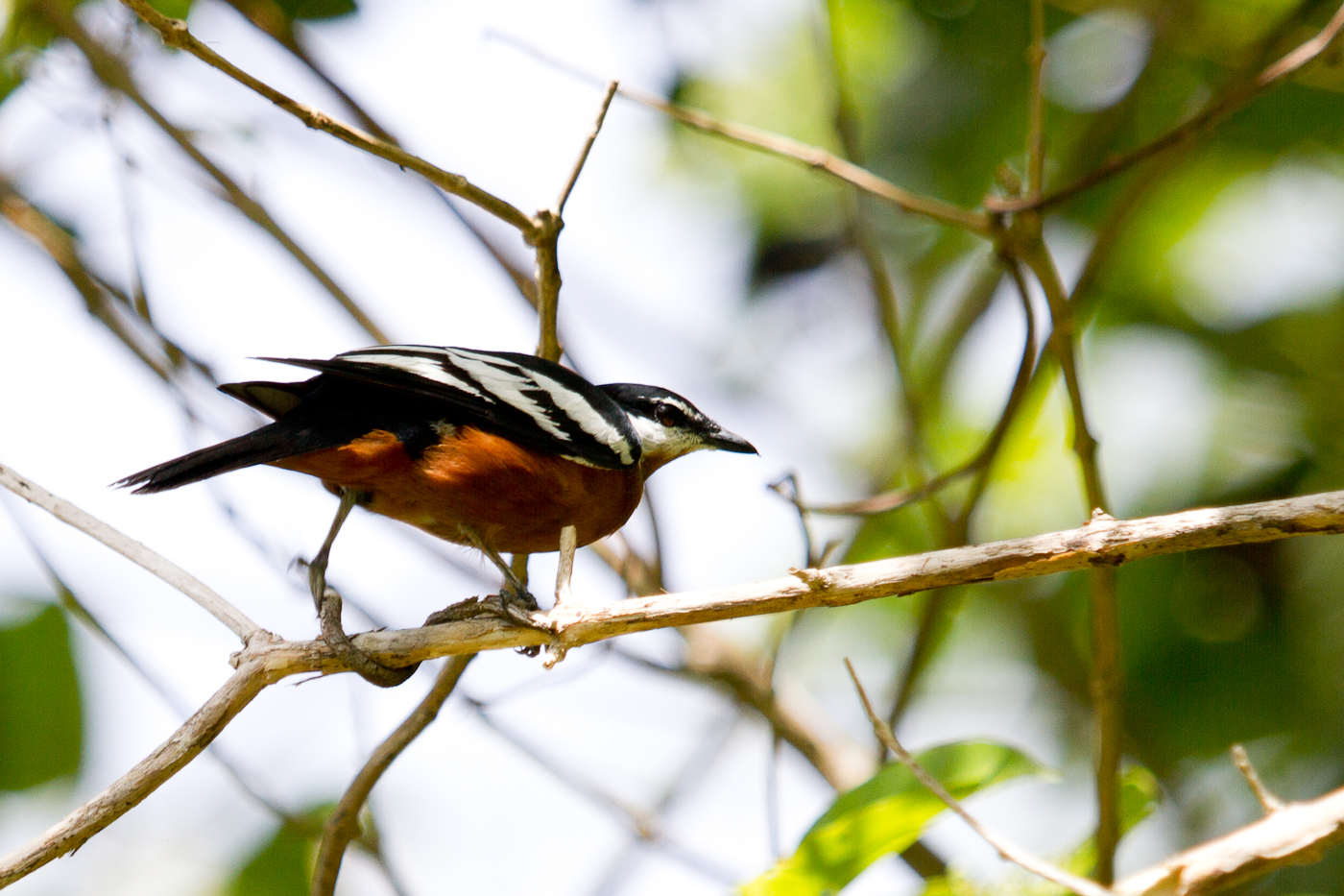 Rufous-Bellied Triller at Weda Resort