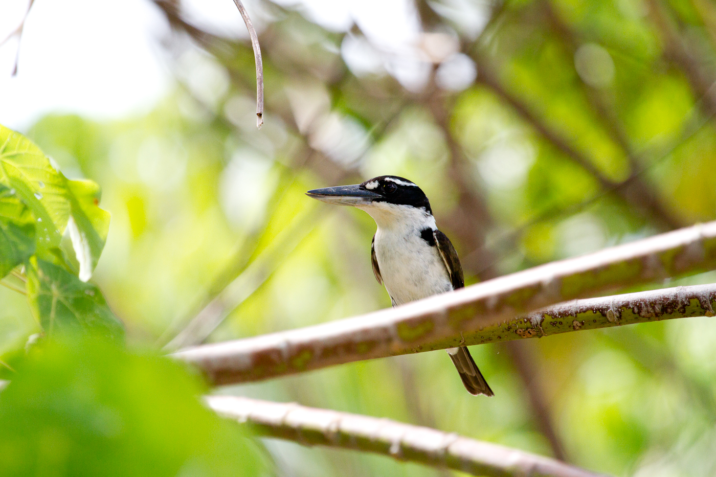 Sombre Kingfisher, Halmahera, Indonesia, Feb 2014