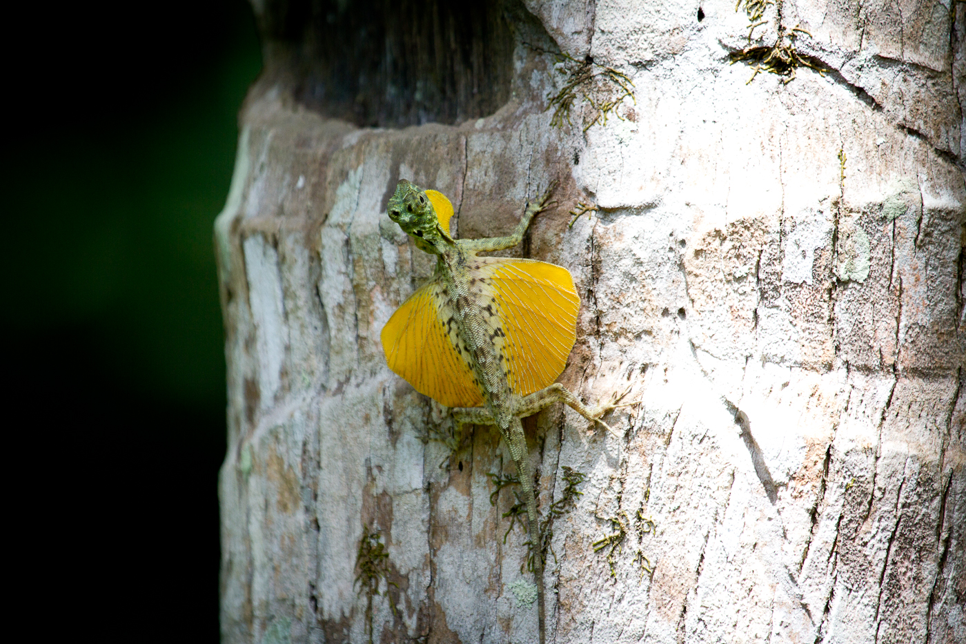 Flying Lizard in Tangkoko. These guys were fast flyers!