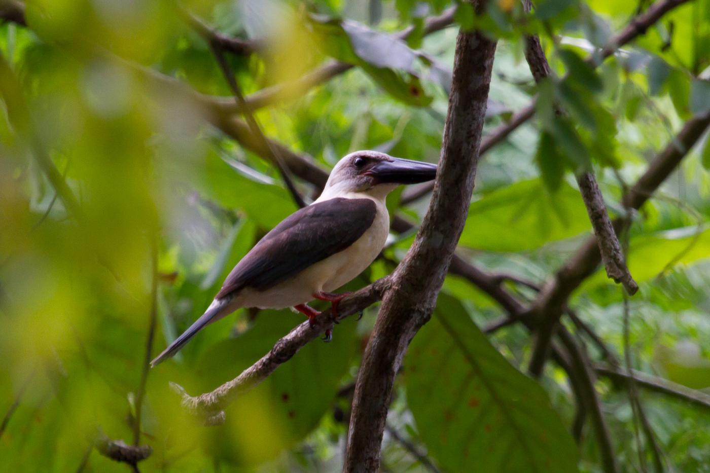 Great-Billed Kingfisher. One of five endemic Kingfisher in Sulawesi.