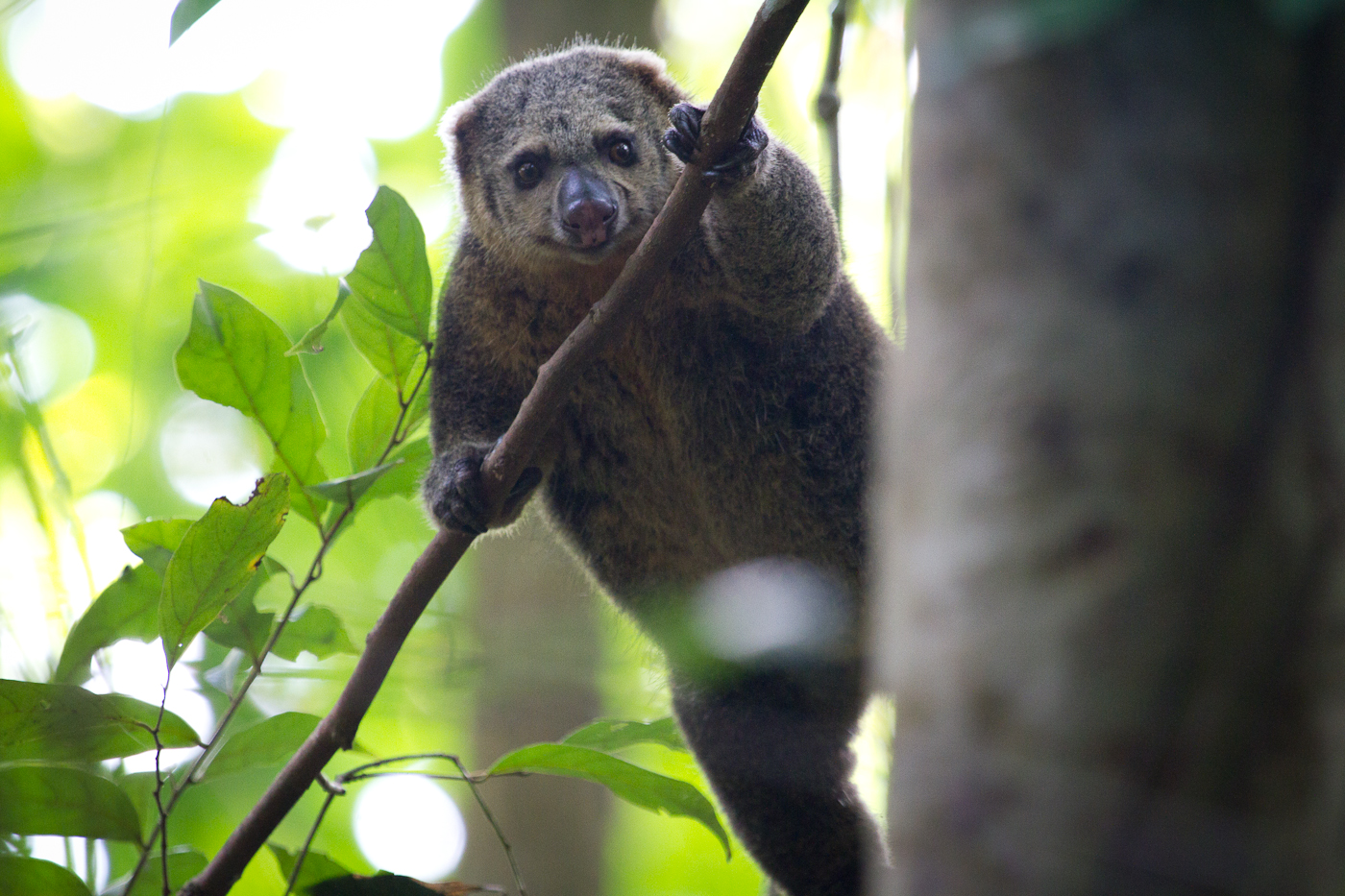 Sulawesi Bear Cuscus. A bizarre forest creature which is not a bear at all and actually has a long prehensile tail for holding on. More like a sloth if you ask me!