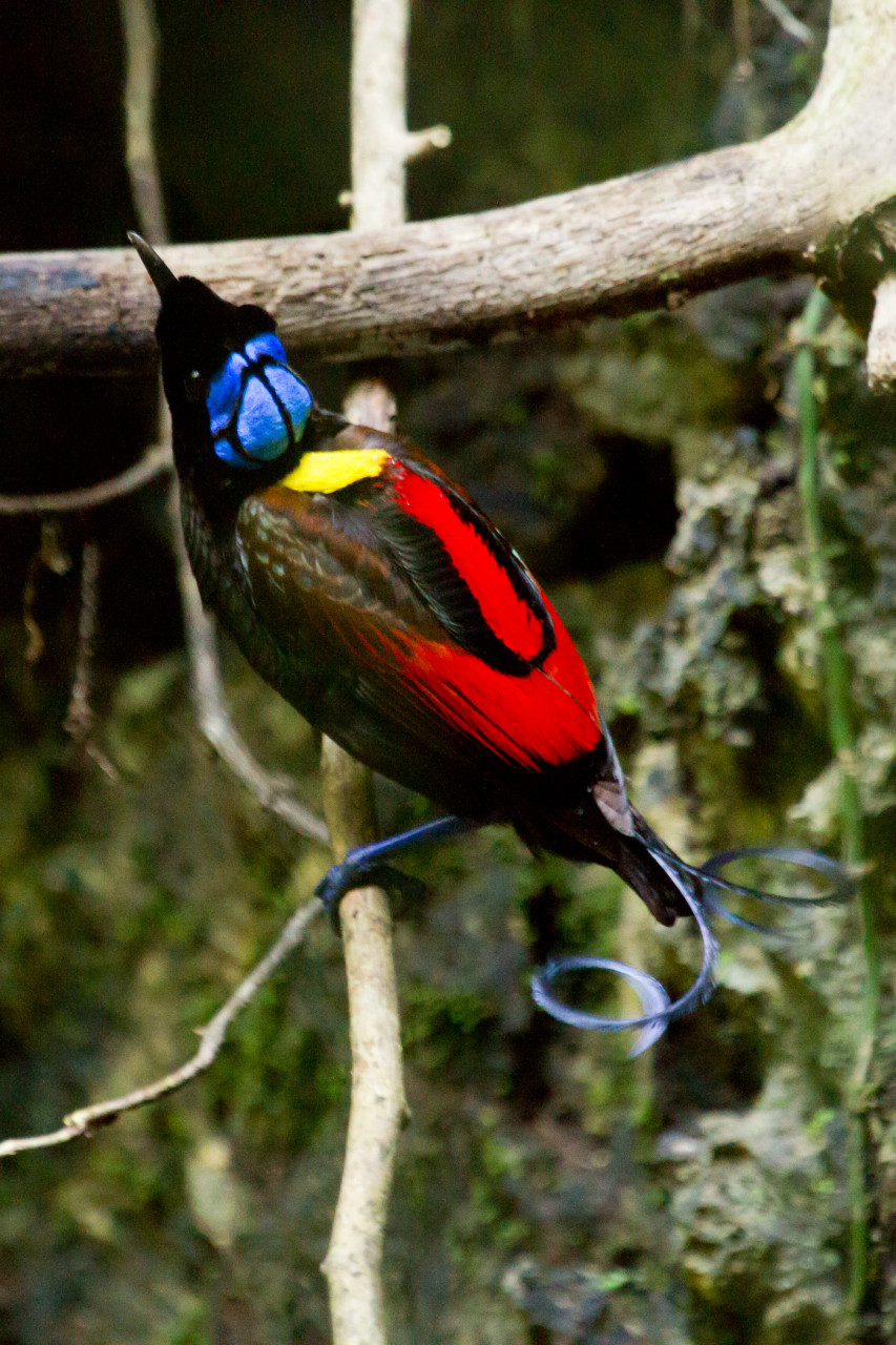 The Wilson's Bird of Paradise, considered by some to be the most beautiful bird in the world.