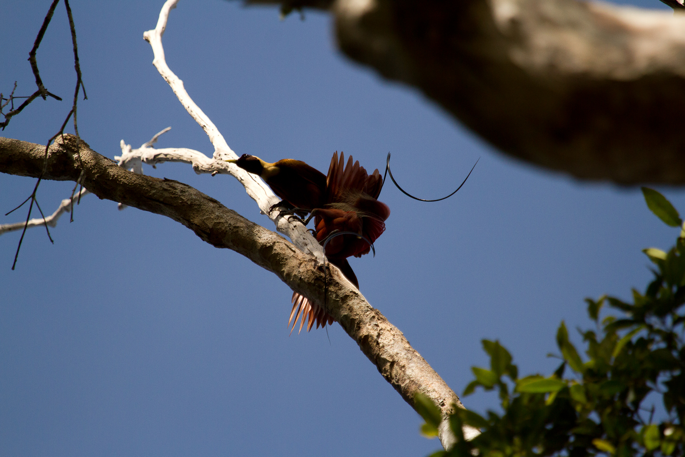 Get that female! A Red Bird of Paradise swoops in to start his courting dance.