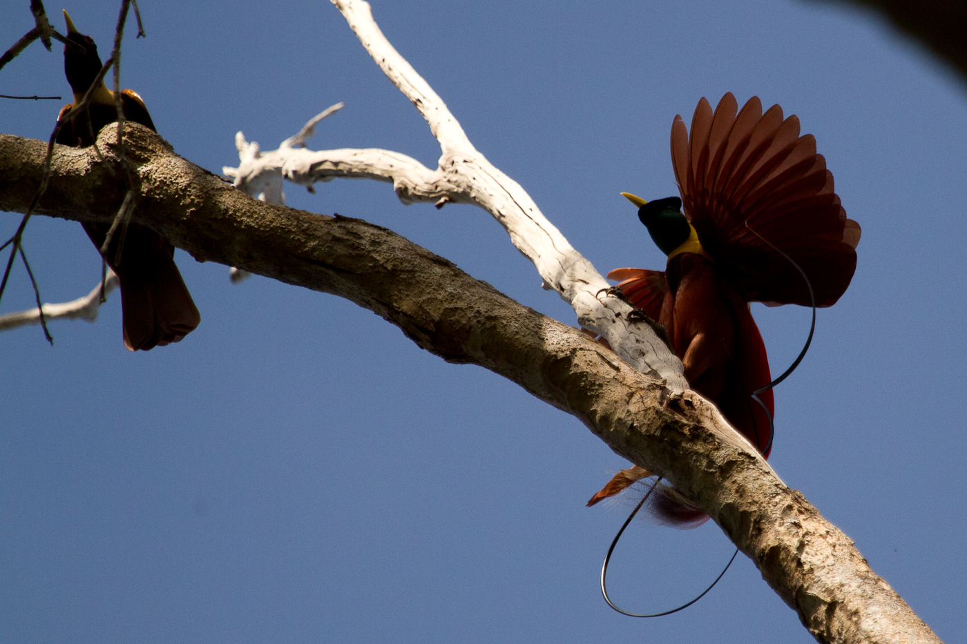 Get that female! A Red Bird of Paradise swoops in to start his courting dance. Raja Ampat Islands, Papua