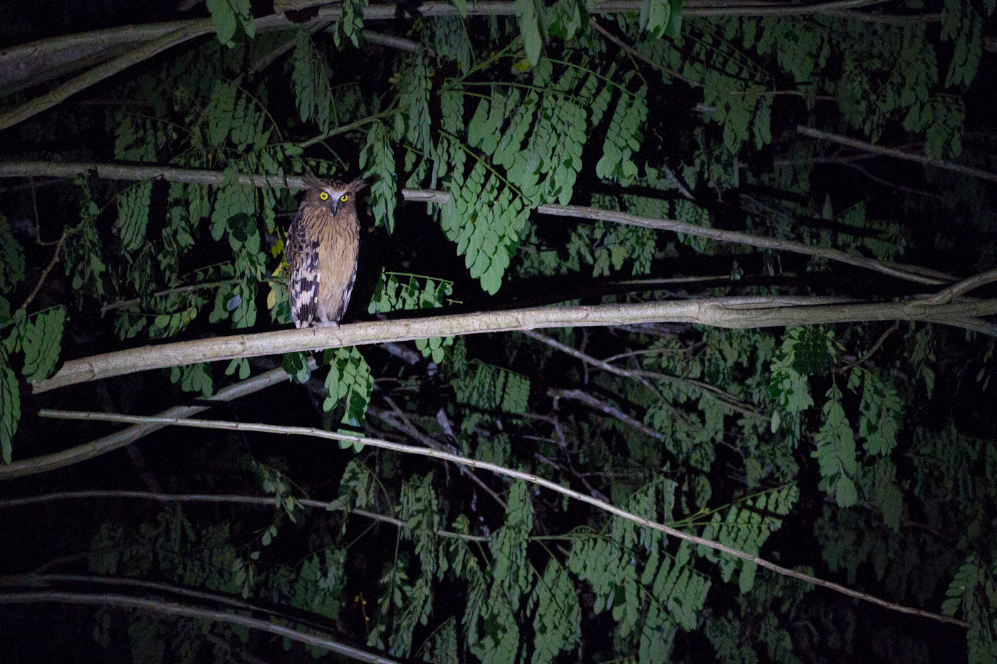 Buffy Fish Owl. Always in the same spot.