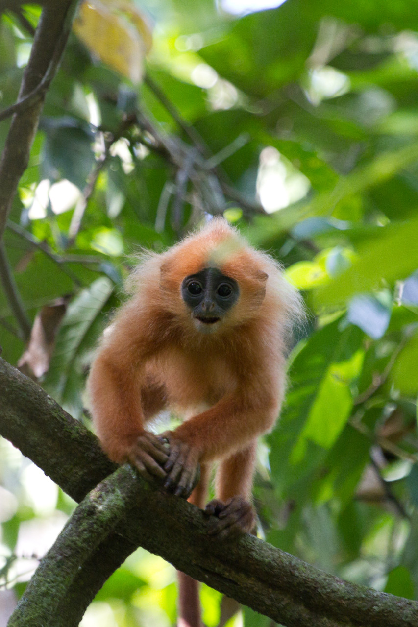 Red Leaf Monkey in the Danum Valley