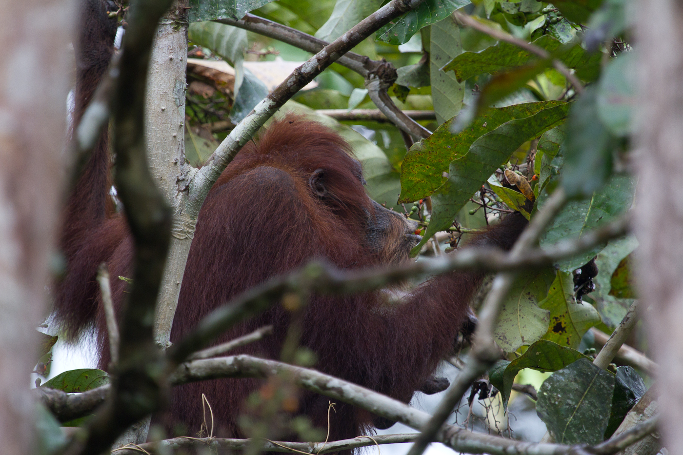 Bongo the Orangutan is still alive! This particular individual charged us last time we were in Danum. She is still going strong despite her cancer.