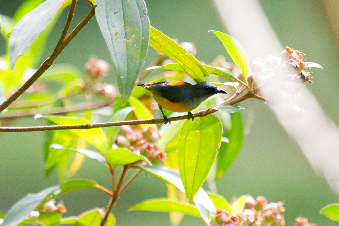 Orange-Bellied Flowerpecker, Danum Valley Field Centre, Sabah, Borneo