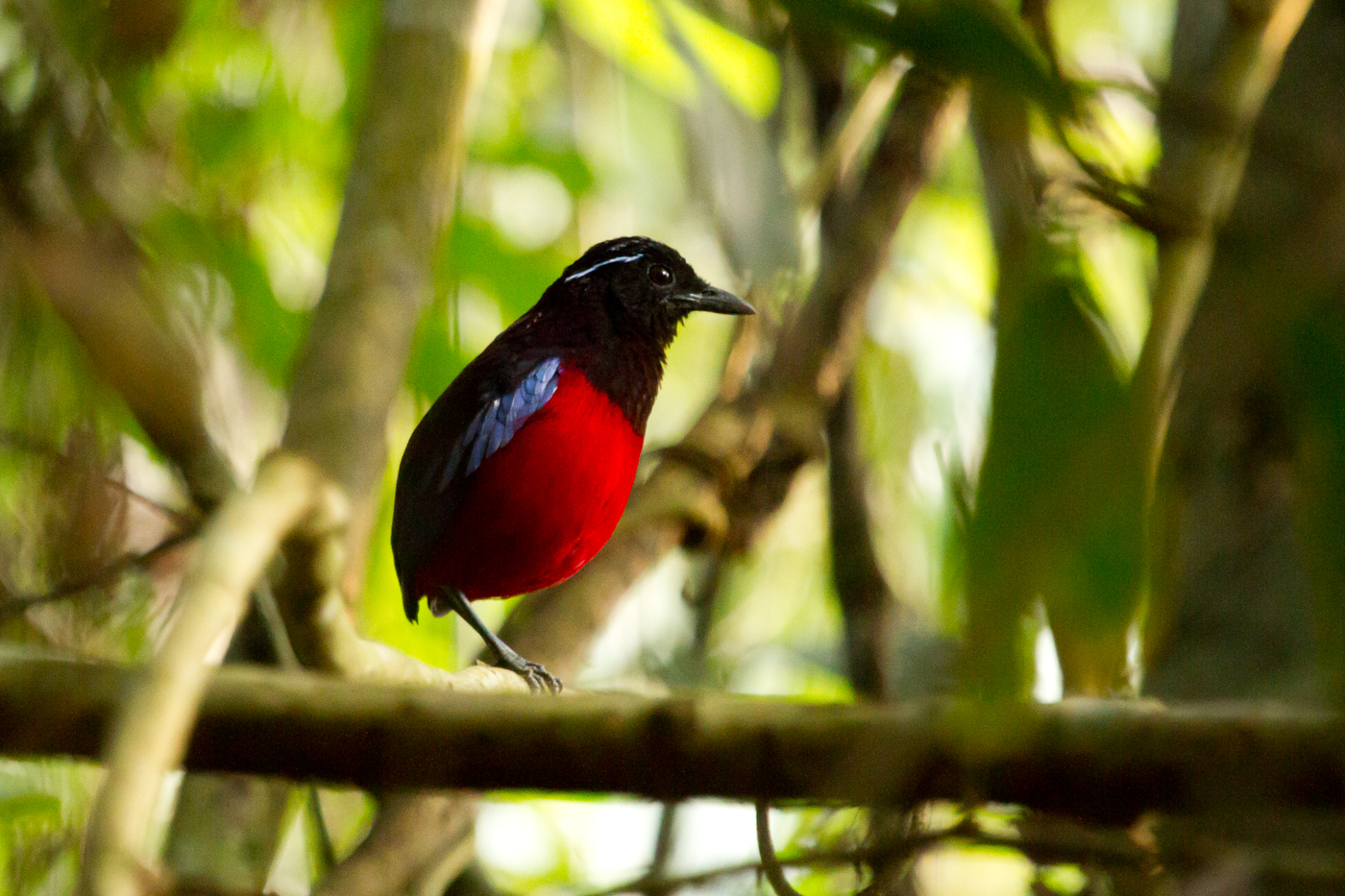 Black-and-Crimson Pitta. Always calling on the Mengaris Trail.