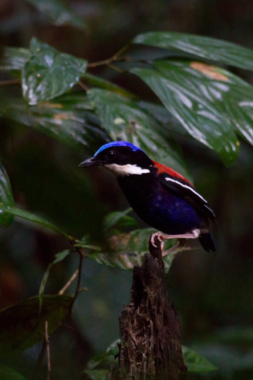 Blue-Headed Pitta in Danum