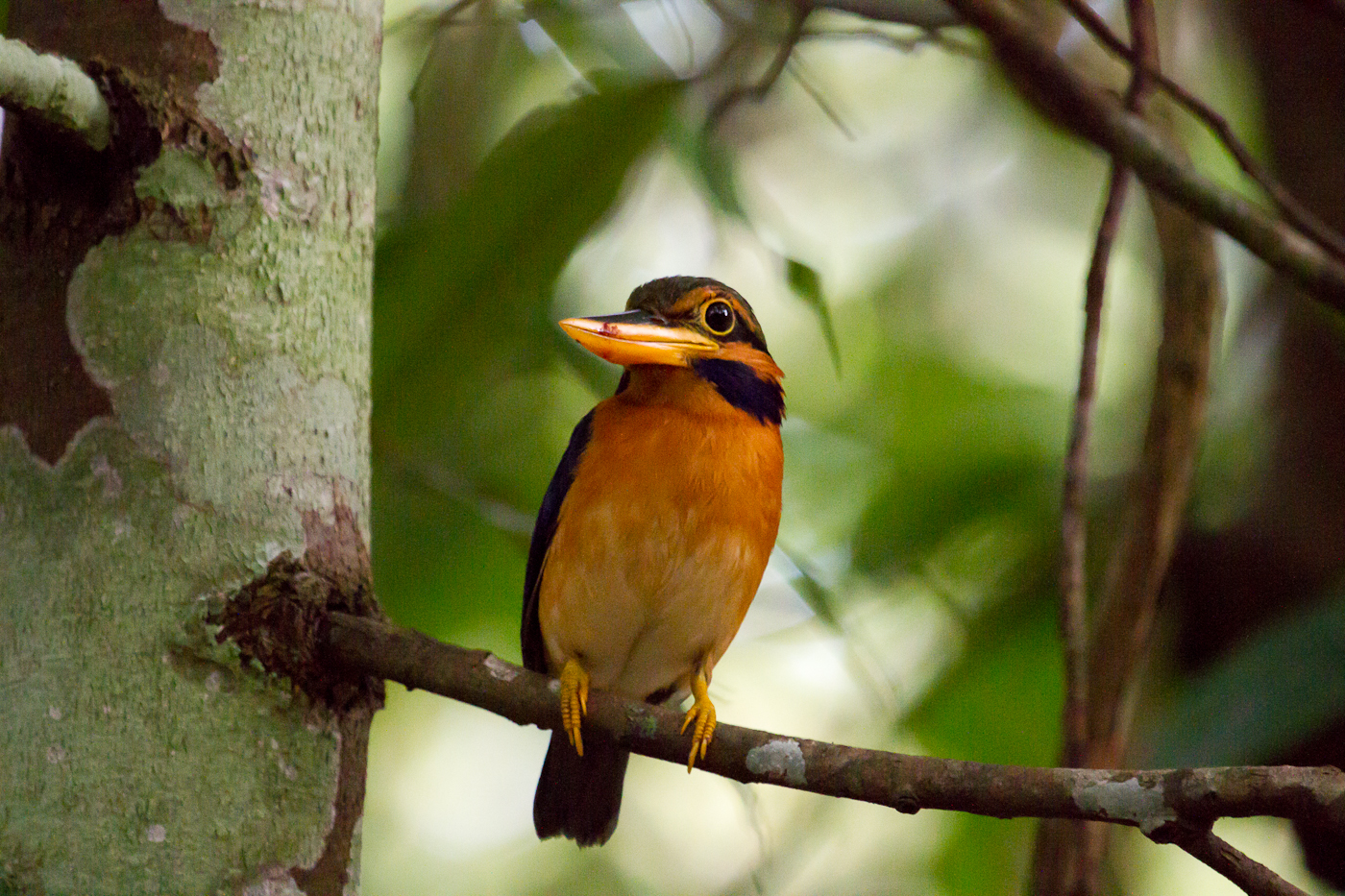Rufous-Collared Kingfisher, Sabah, Borneo, April 2014