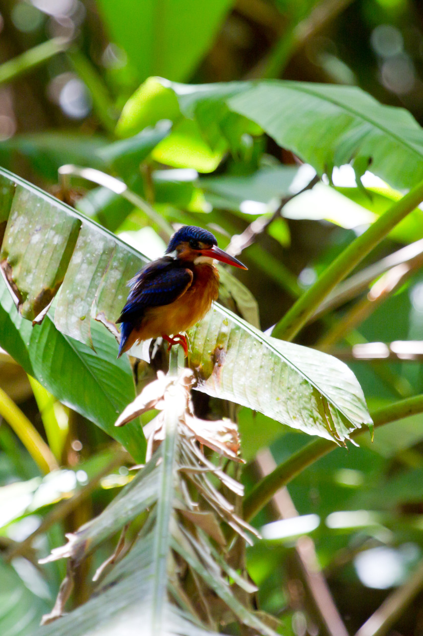 Blue-Eared Kingfisher in Sepilok