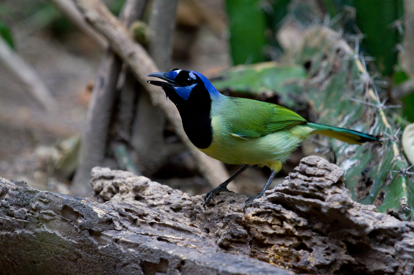 South Texas' most colorful bird, the Green Jay