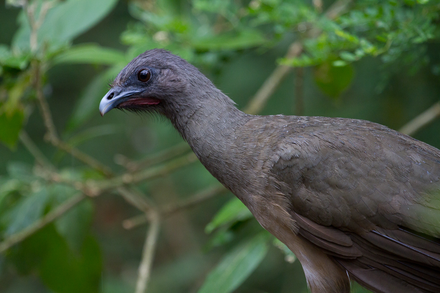 Chachalaca! Sometimes eaten like a chicken.