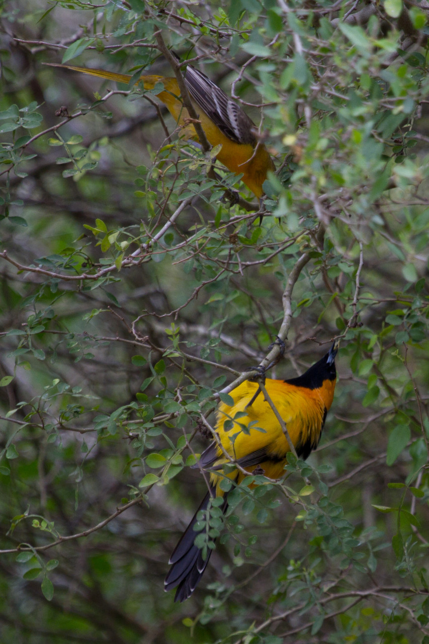 A Hooded Oriole male tries for a date