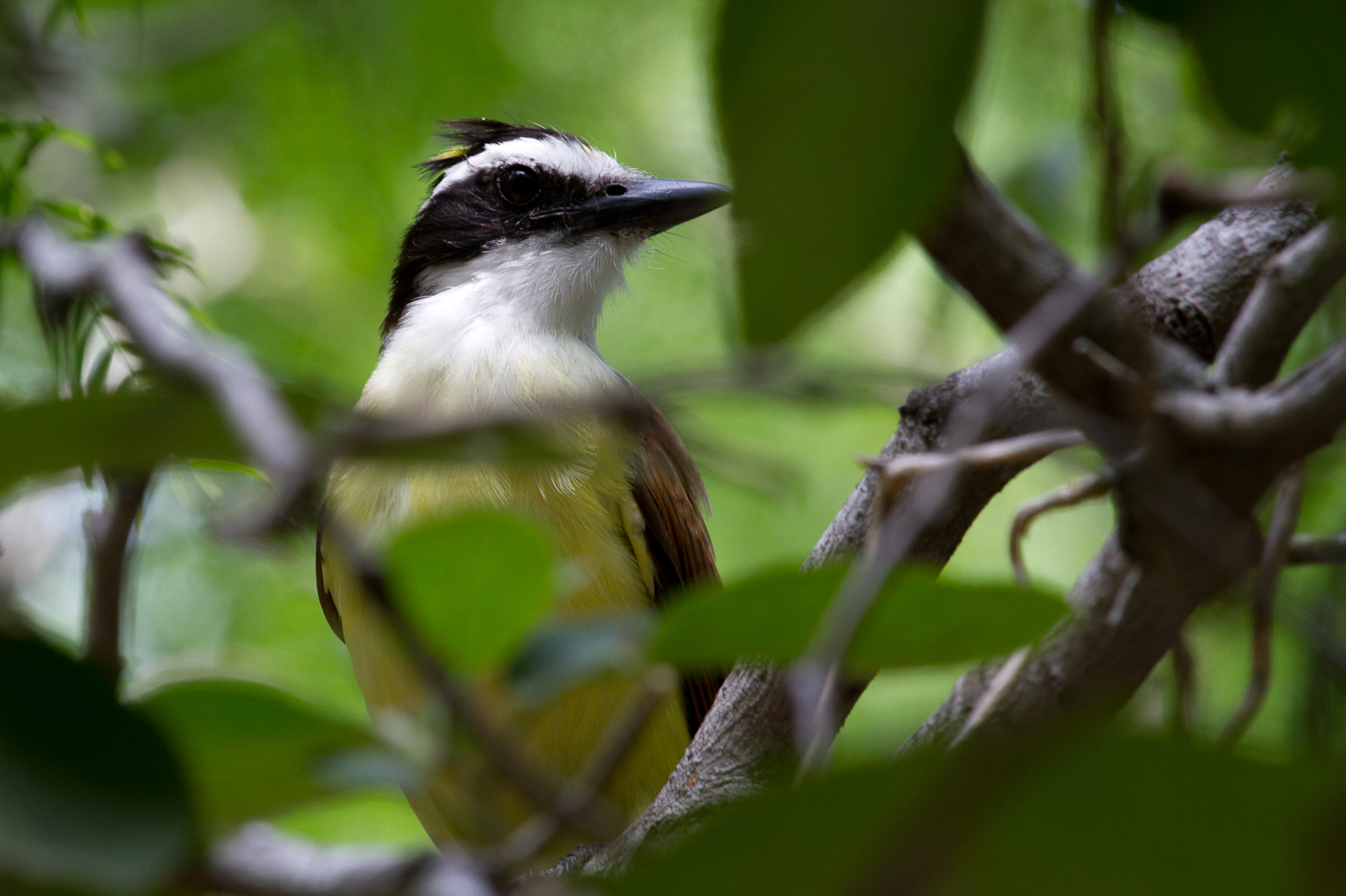 The huge Great Kiskadee Flycatcher.