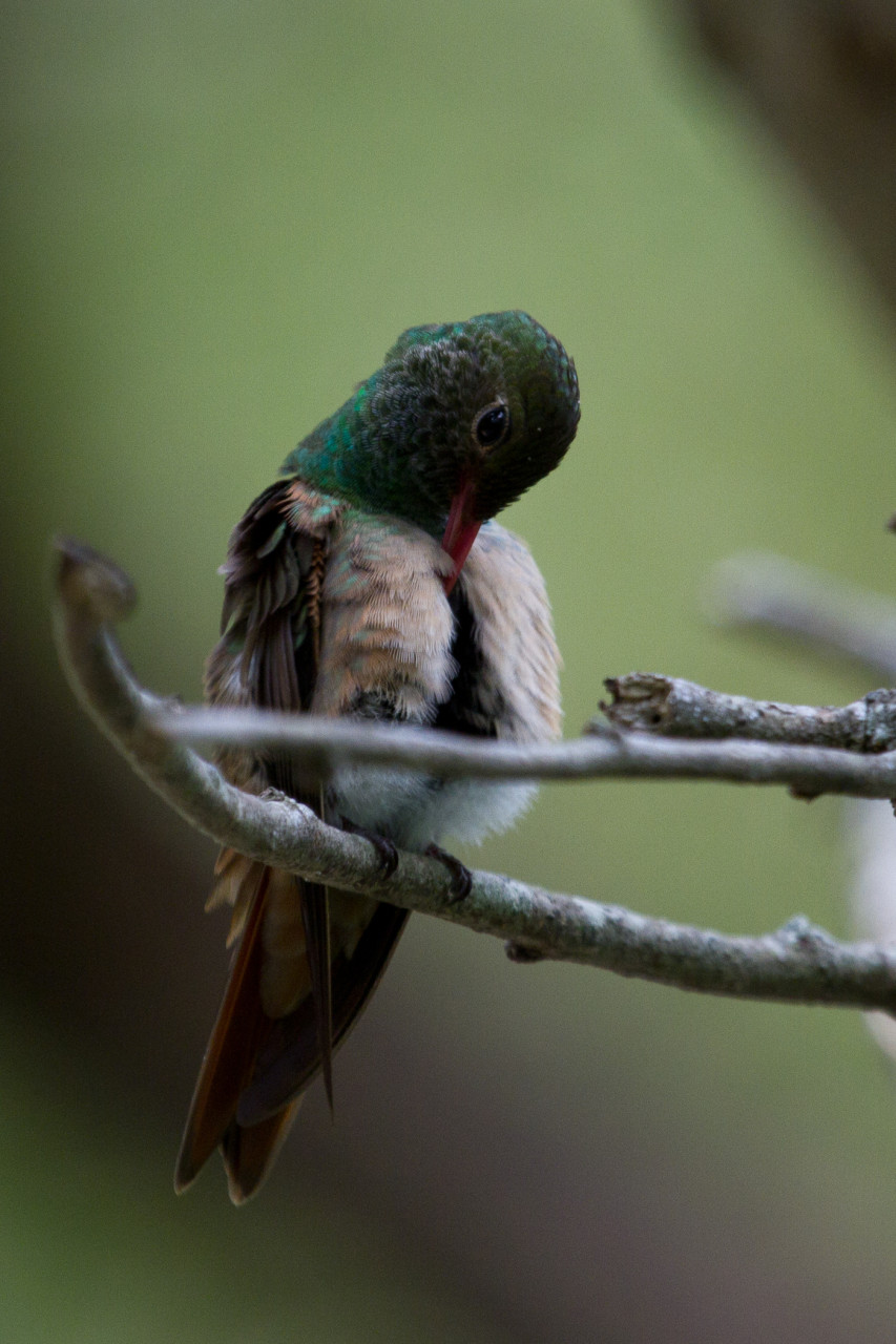 Buff-Bellied Hummingbird preens itself.