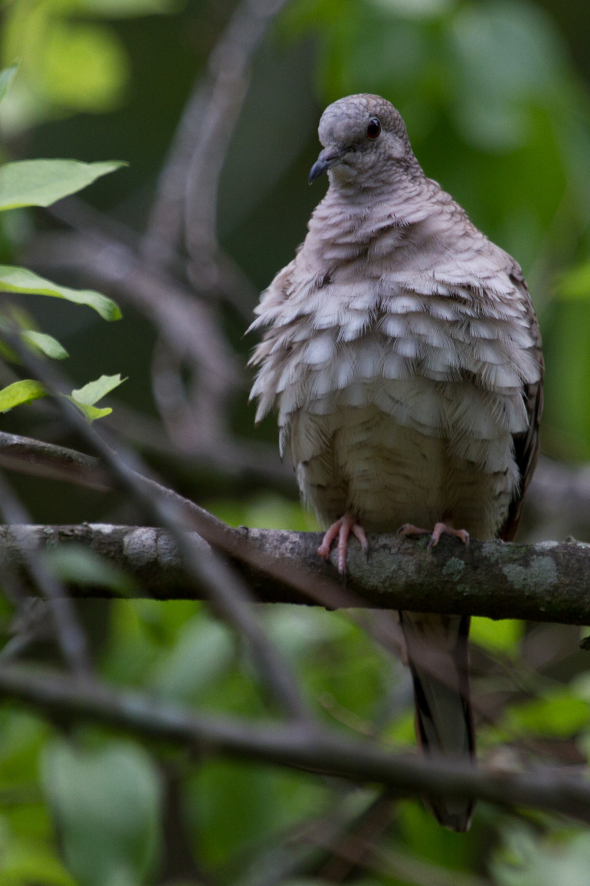 A perched Inca Dove