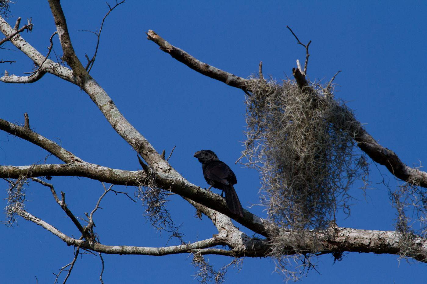 The amazing Groove-Billed Ani