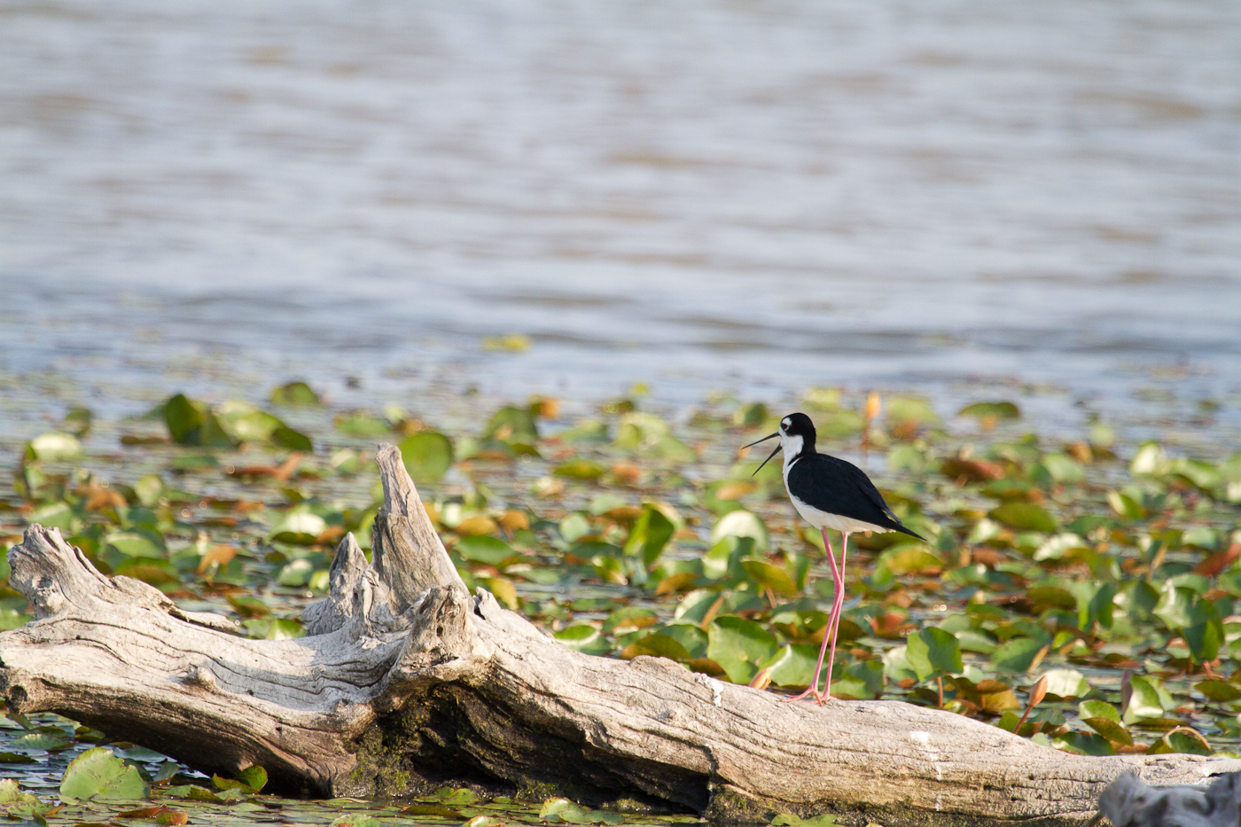 Black-Necked Stilt in front of the swamp lettuce.