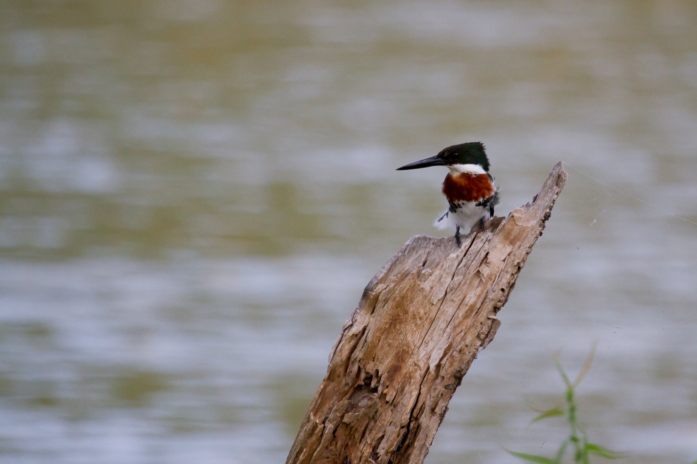 Green Kingfisher (male), Santa Ana NWR, Texas, Apr. 2014