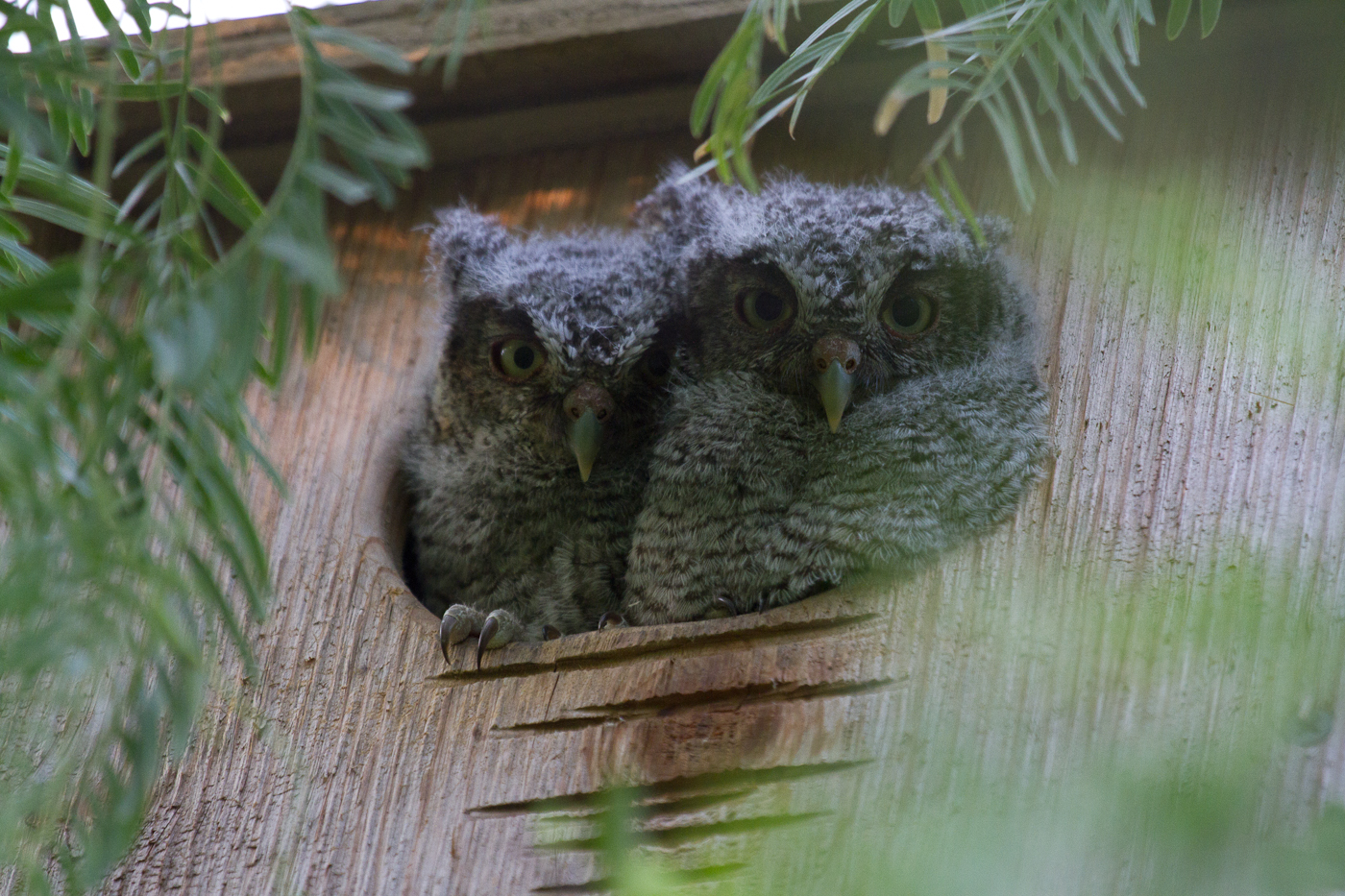 Two baby Eastern Screech Owls.