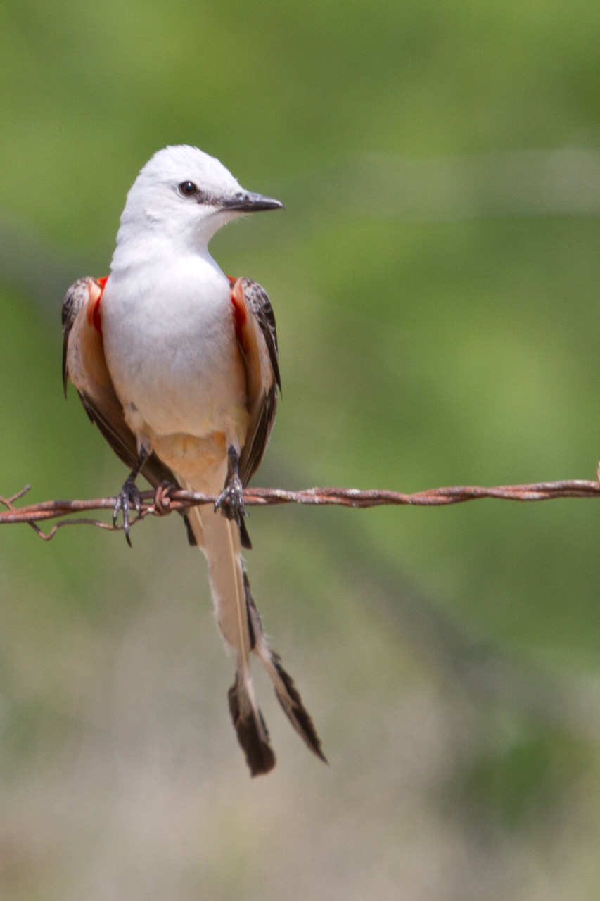Scissor-Tail Flycatcher on a barbed-wire fence.