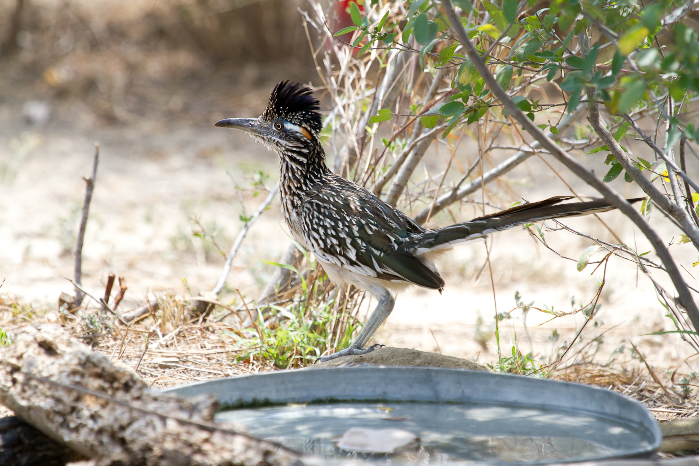 Roadrunner. A true wily bird.