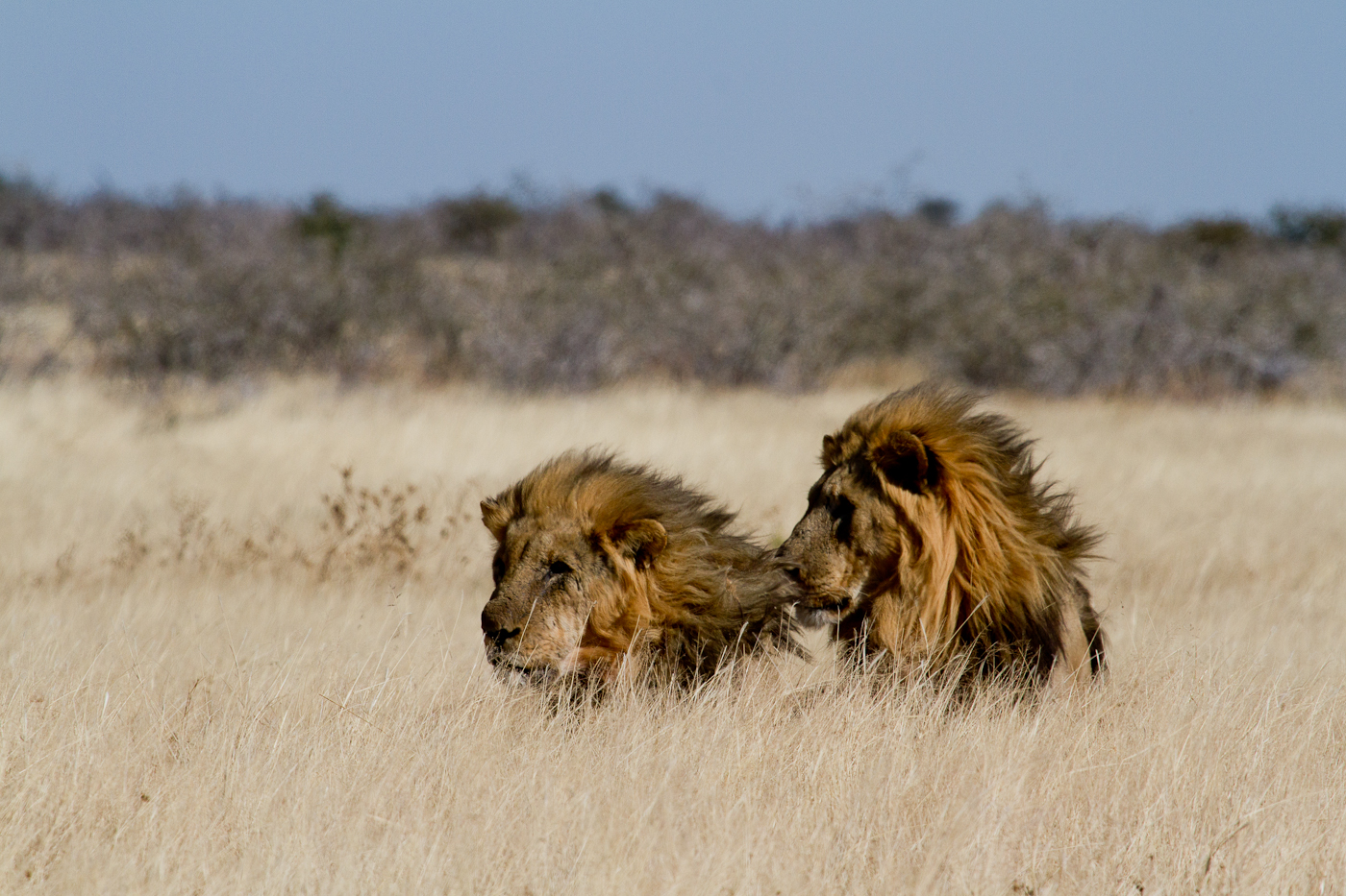 Two male lions rest in the heat of the afternoon in Etosha.