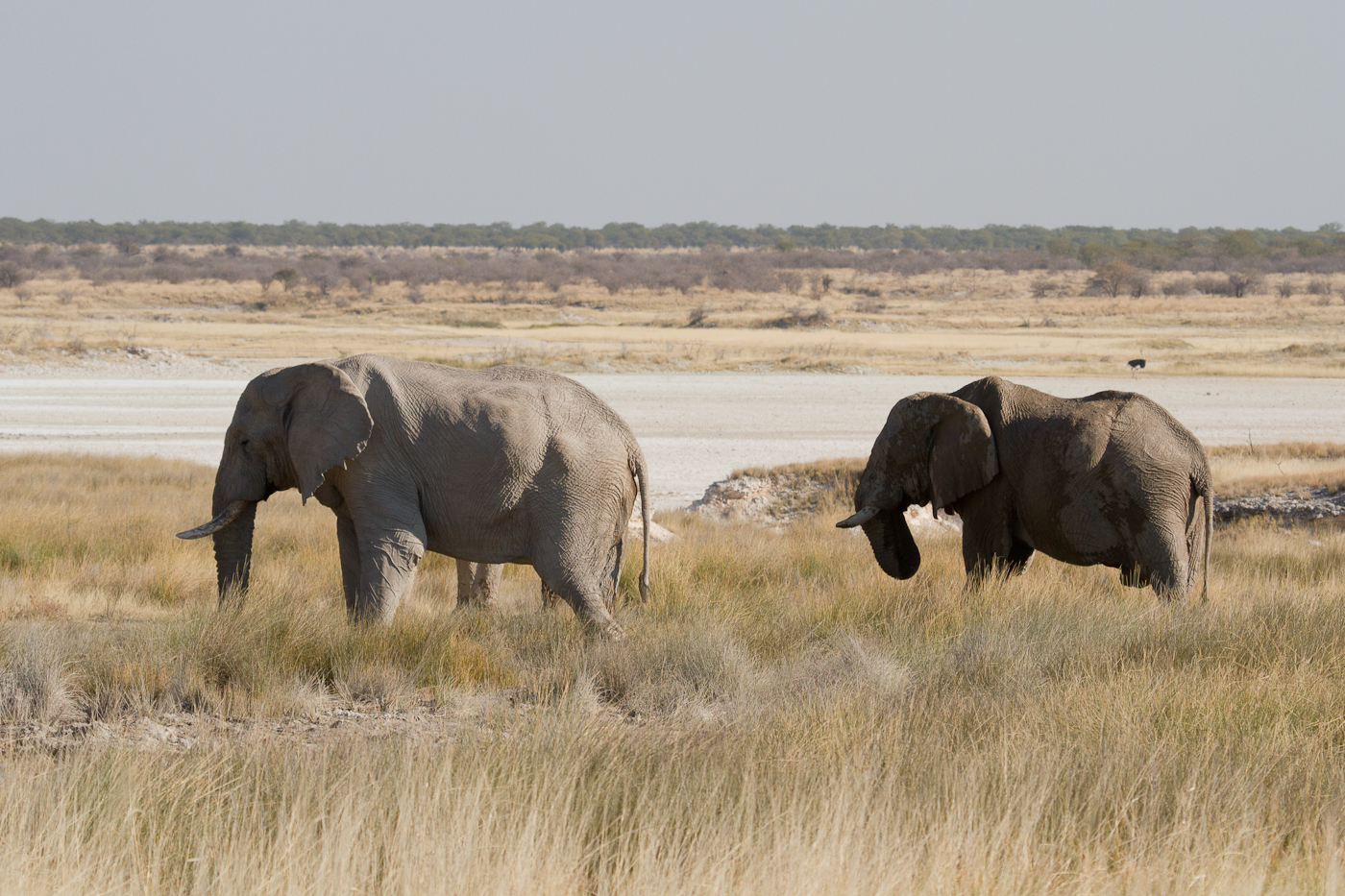 Elephants in Etosha are famed for having longer than average legs and shorter than average tusks.