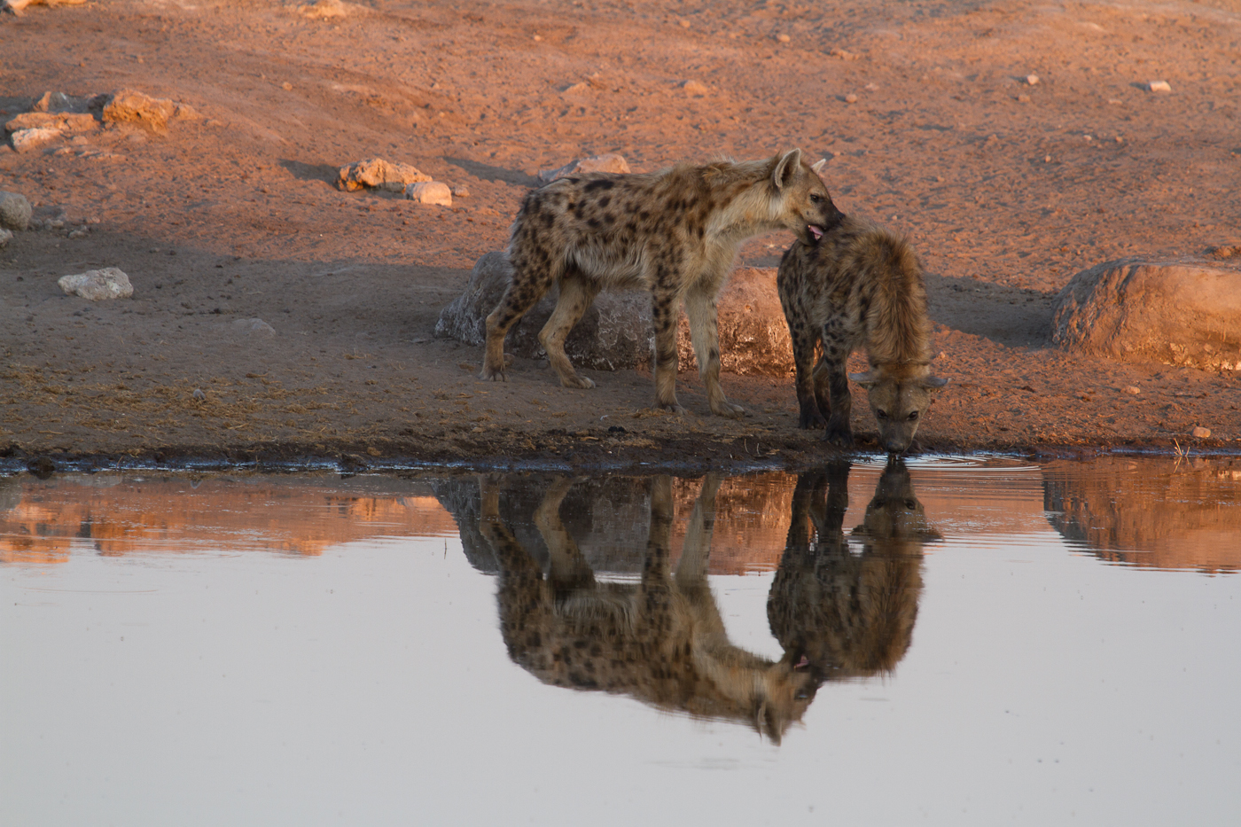 Hyenas greet one another at the Chudup Waterhole in Etosha National Park.