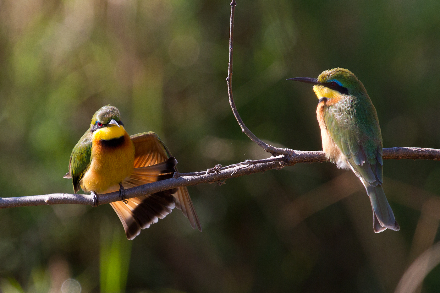 Little Bee-Eater, Okavango Flood Plain, Namibia