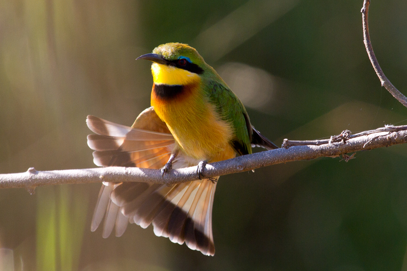 Little Bee-eater stretch in the morning sun.