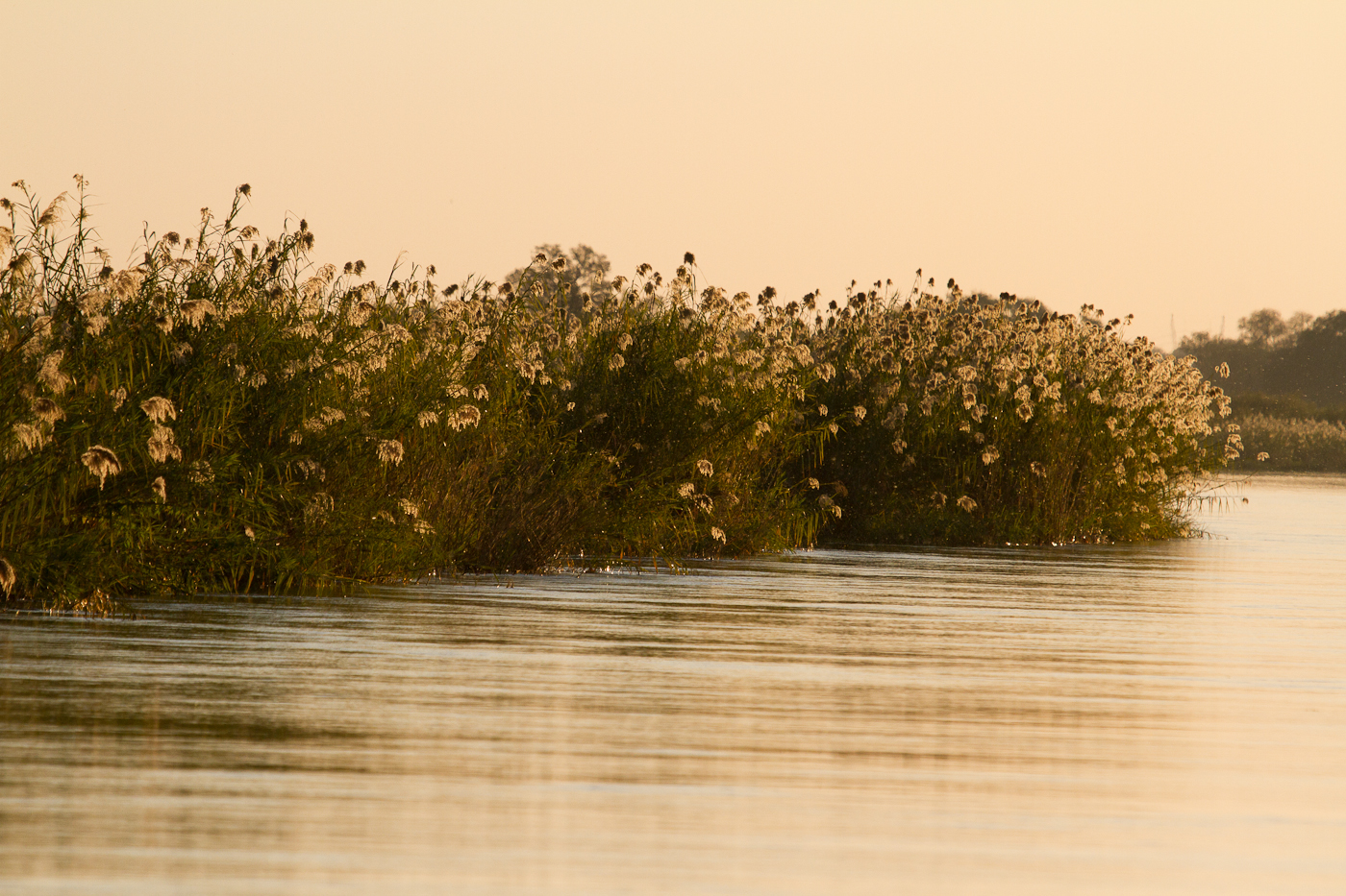 Papyrus grass on the Okavango River near Ngepi Camp