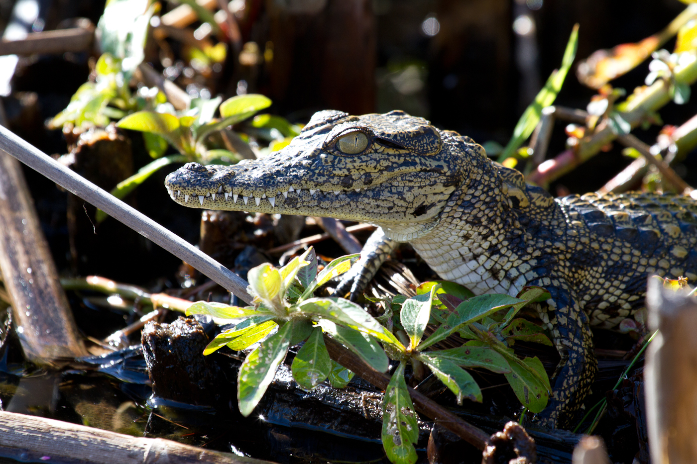A juvenile nile crocodile in the Okavango panhandle.