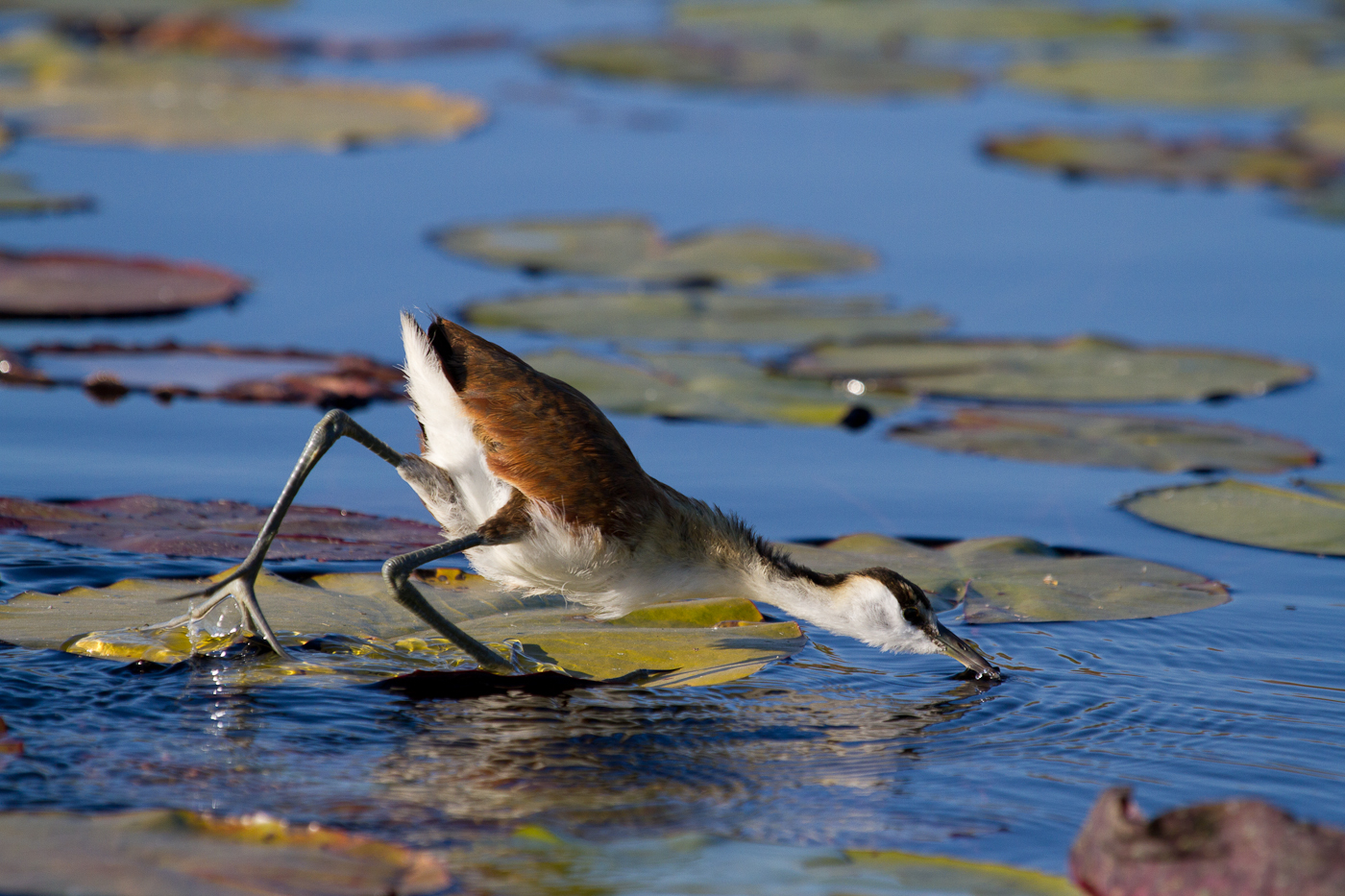 A Lesser Jacana searches for food