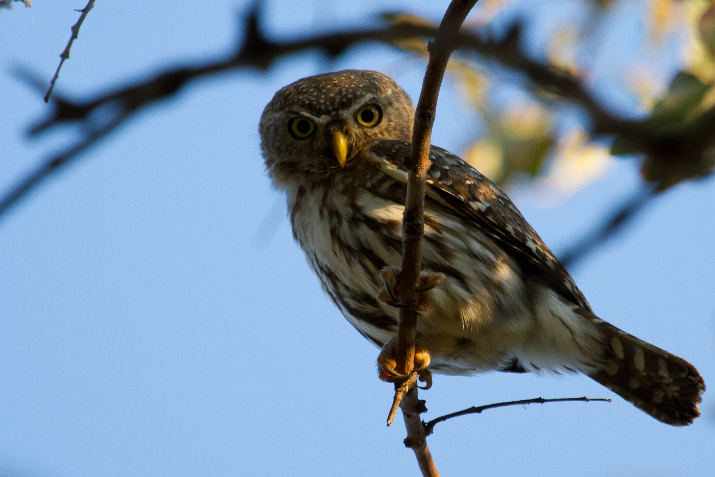 The Pearl-Spotted Owlet. A fantastic small owl with fake eyes on the back of its head.