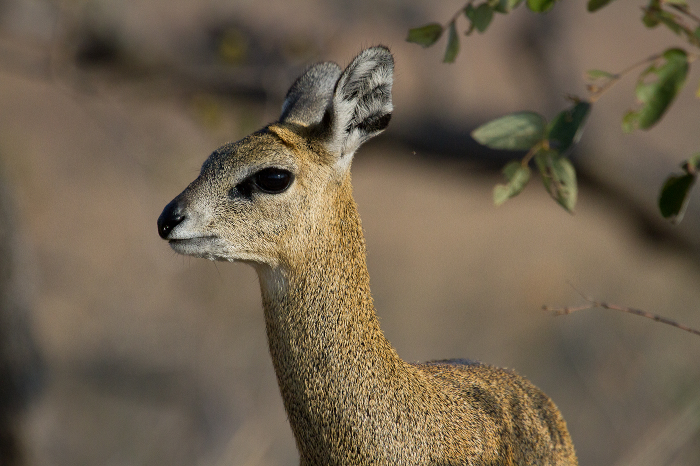 The Klipspringer. For my money, the antelope with the most personality.