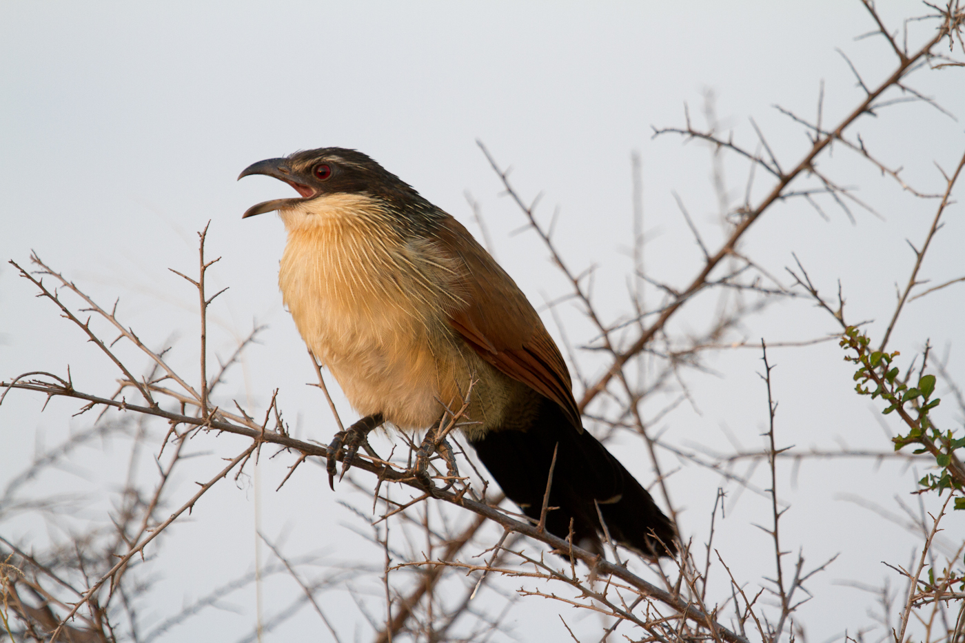 Burchell's Coucal in Kruger