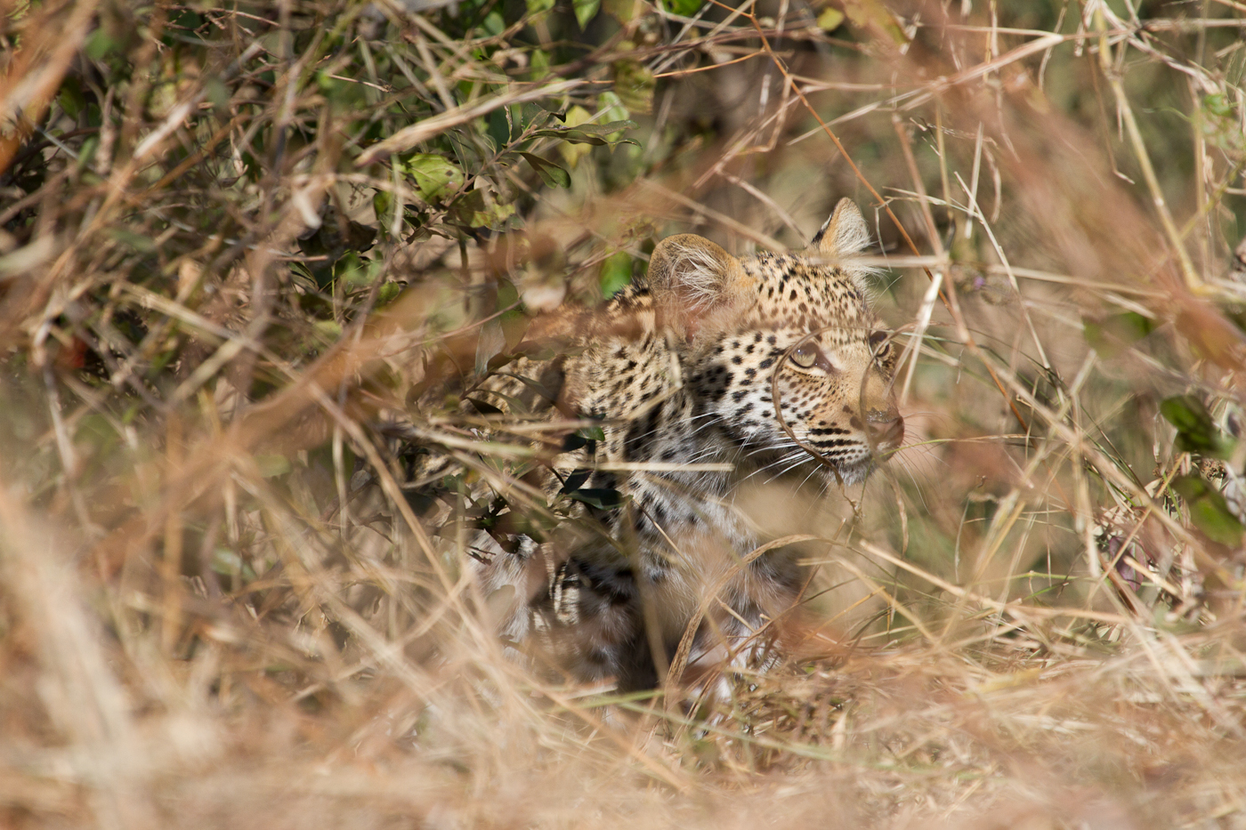 A young leopard waits to see if the coast is clear.