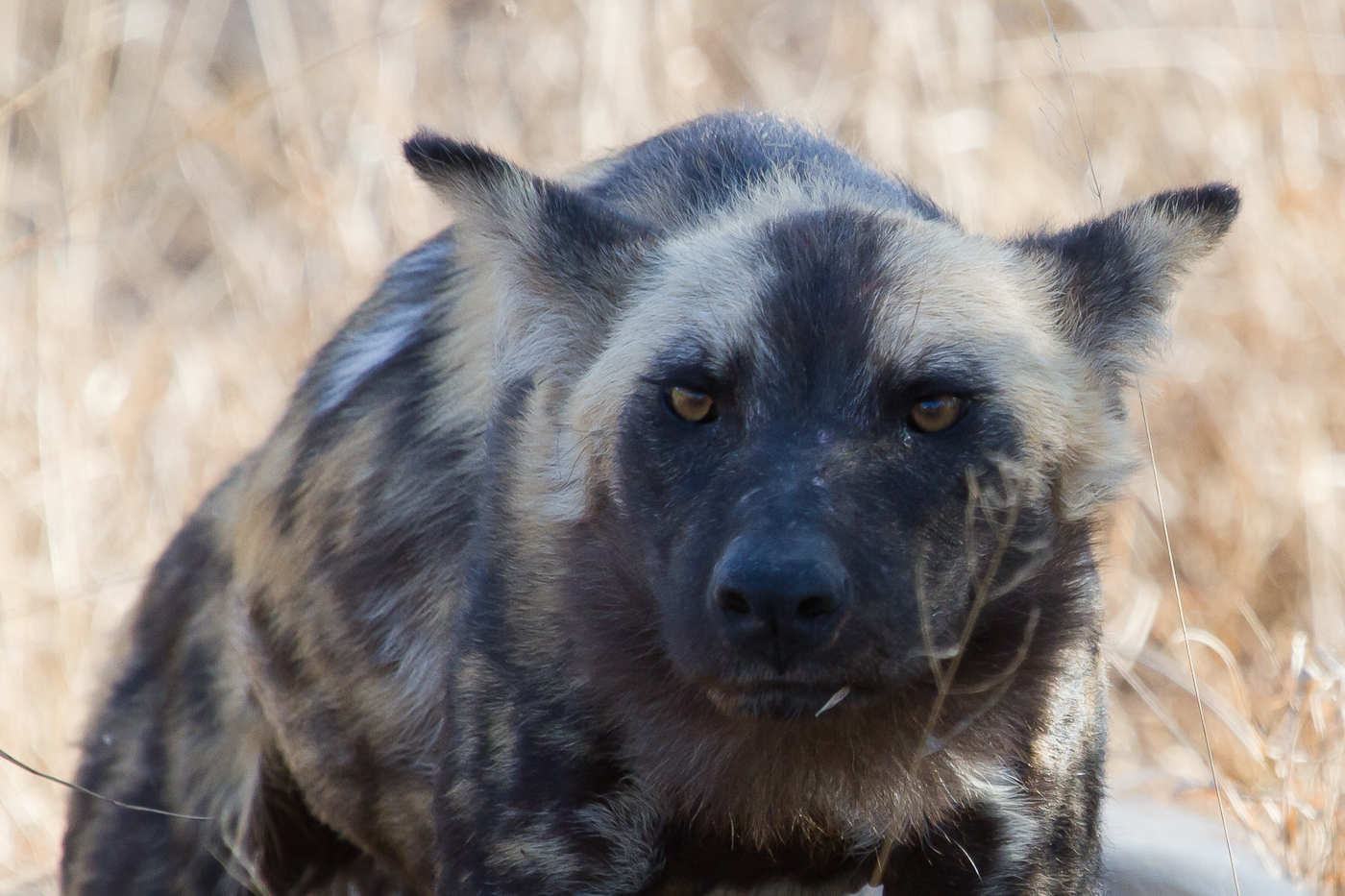 Animals show a variety of emotions. This Wild Dog looks menacing but is actually just arching its back after a nap.