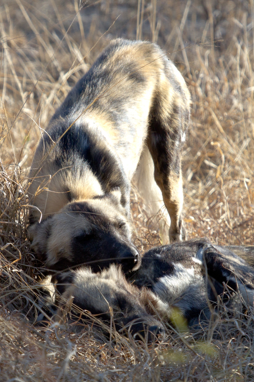 One moment later, the same Wild Dog appears to lovingly nuzzle its friend. The expression is that of a domestic dog.