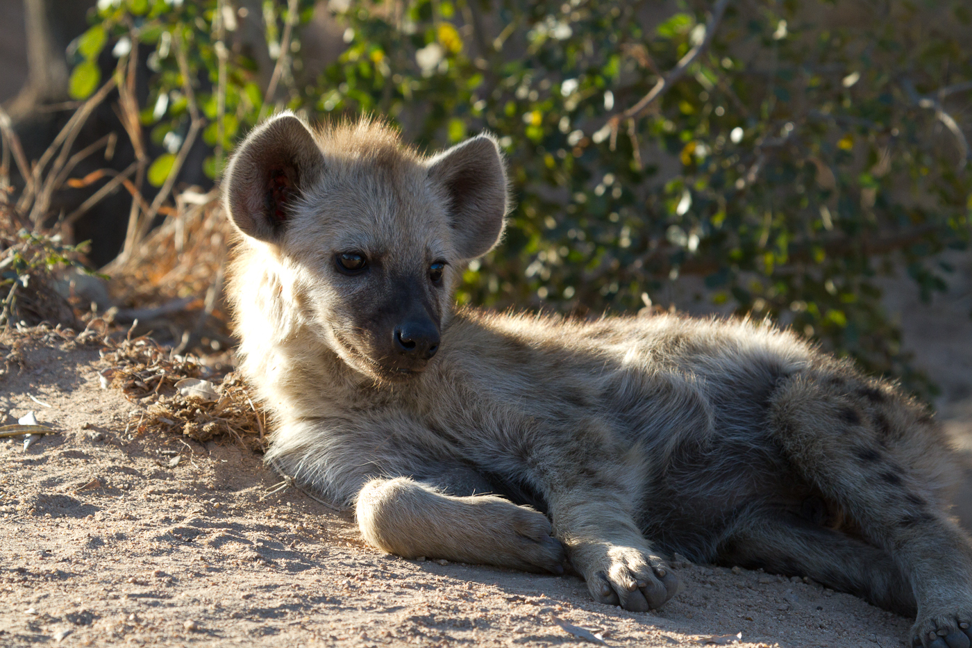 A young Hyena enjoys the evening sun.