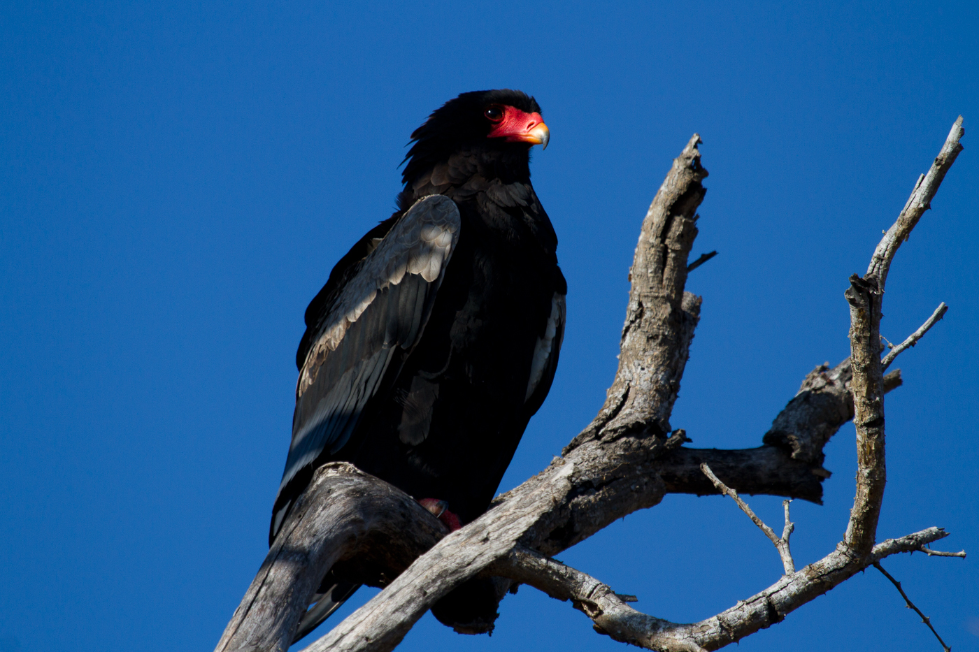 The blue of the sky in this picture was really the norm during winter in South Africa. The Bateleur looks good in blue.